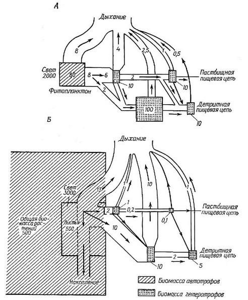 Рис. 8.9.  Схема потока энергии в двух экосистемах с сильно различающимся урожаем.